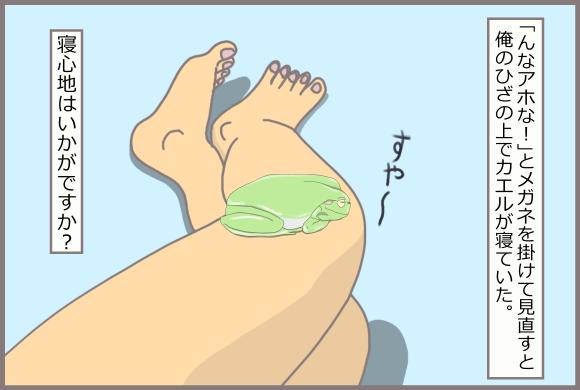 コーギーアルんち:脱走して私の膝でねるイエアメガエル