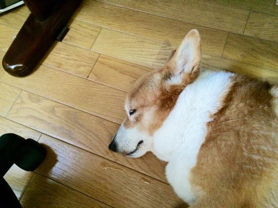 コーギーアルんち:よう寝てるアル